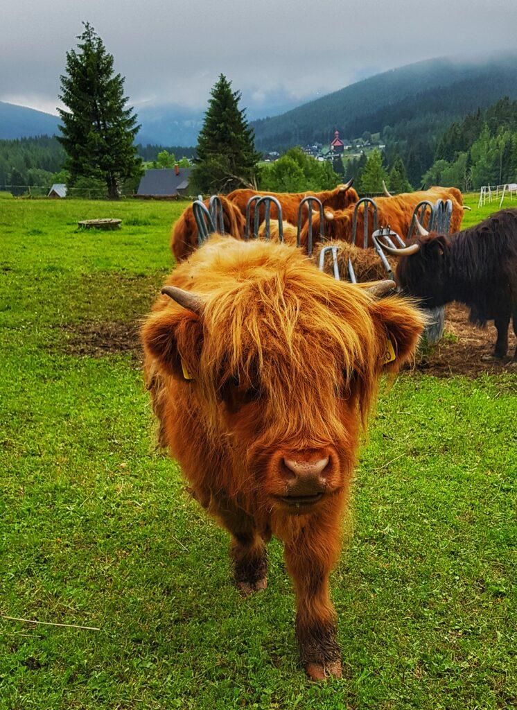 Highland Cattle, tele, bouda Moravanka v Horní Malé Úpě